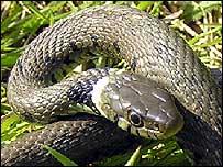 grass_snake_203_203x152