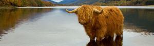 highlandcow