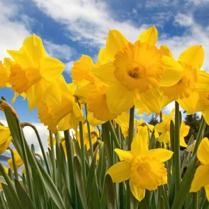 sunny-daffodils23-1000x1000