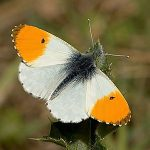 A male orange tip